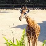giraffe-105683_640